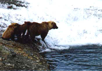 Sow with cubs fishing